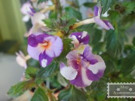 achimenes-blueberry-lemon-foto-3