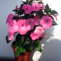 achimenes-bright-rose-2