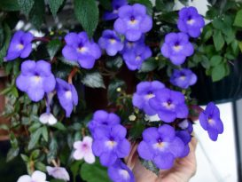 achimenes-cascade-violet-night-5