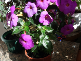 achimenes-crazy-purple4 (1)