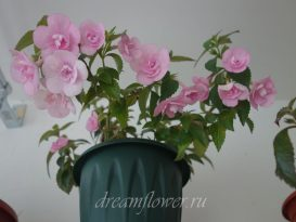 achimenes-double-pink-rose-10