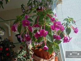 achimenes-grape-wine-foto-6