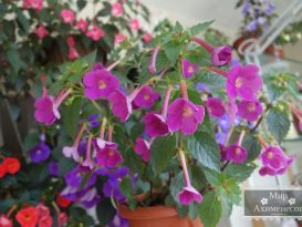 achimenes-grape-wine-foto-8