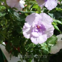 achimenes-made-in-heaven-1