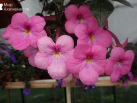 achimenes-painted-lady-01