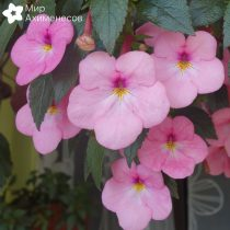 achimenes-painted-lady-02