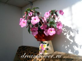"Сорт ""Double Pink Rose"""