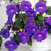 achimenes-purple-king-02