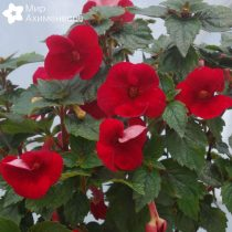 achimenes-red-diamond-05