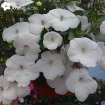 achimenes-snow-princess-03