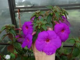 achimenes-сrazy-purple-1