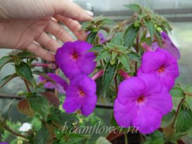 achimenes-сrazy-purple-3
