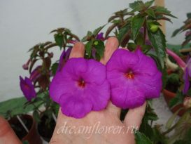 achimenes-сrazy-purple-4