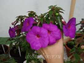 achimenes-сrazy-purple-5