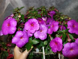 achimenes-сrazy-purple-8