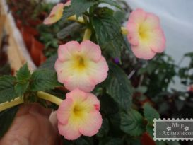 achimenes-strawberry-lemon-foto-3