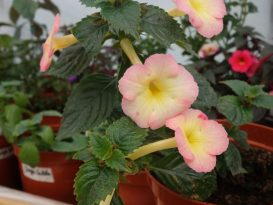 achimenes-strawberry-lemon-foto-4