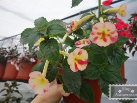 achimenes-strawberry-lemon-foto-5