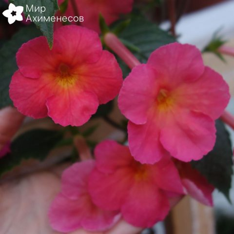 achimenes-sweet-and-sour-03
