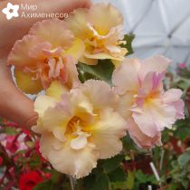 achimenes-yellow-english-rose-7