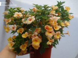 achimenes-yellow-fever-01