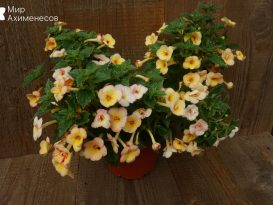 achimenes-yellow-fever-02