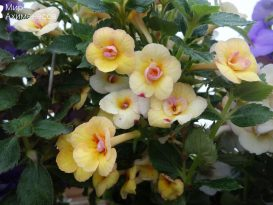achimenes-yellow-fever-04