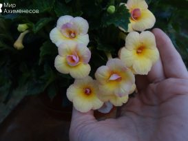 achimenes-yellow-fever-07
