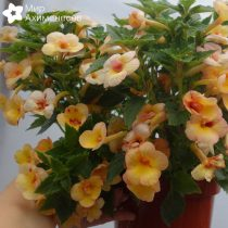 achimenes-yellow-fever-08