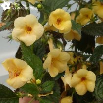 achimenes-yellow-queen-03