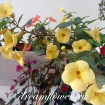 achimenes-yellow-queen-12