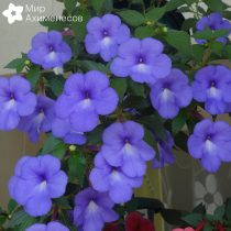 ahimenes-blue-star-0005