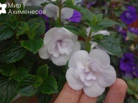 ahimenes-double-picotee-rose-0002