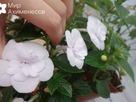 ahimenes-double-picotee-rose-0003