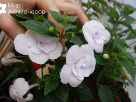 ahimenes-double-picotee-rose-0004
