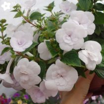 ahimenes-double-picotee-rose-0005