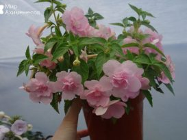 ahimenes-double-pink-rose-0000