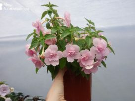 ahimenes-double-pink-rose-0001