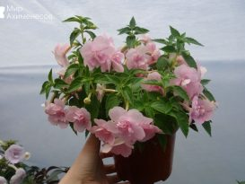 ahimenes-double-pink-rose-0002