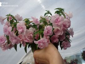 ahimenes-double-pink-rose-0003