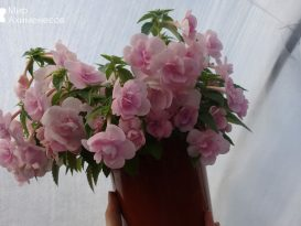 ahimenes-double-pink-rose-0004