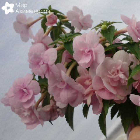 ahimenes-double-pink-rose-0005