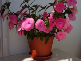 phoca_thumb_l_achimenes-bright-rose-11
