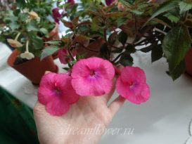 phoca_thumb_l_achimenes-bright-rose-25