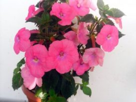 phoca_thumb_l_achimenes-bright-rose-6
