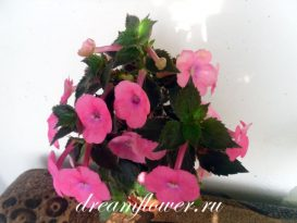 phoca_thumb_l_achimenes-bright-rose-7