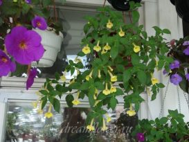 phoca_thumb_l_achimenes-clouded-yellow-5