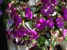 phoca_thumb_l_achimenes-crazy-purple10
