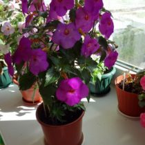 phoca_thumb_l_achimenes-crazy-purple2