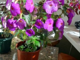 phoca_thumb_l_achimenes-crazy-purple5